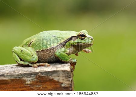 gorgeous european tree frog standing on wood stump green out of focus background ( Hyla arborea )