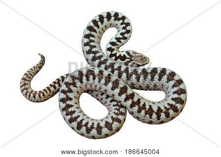 beautiful european common crossed viper ( Vipera berus male ) isolated over white background for your design