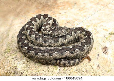 large nose horned viper basking on rock ( Vipera ammodytes )