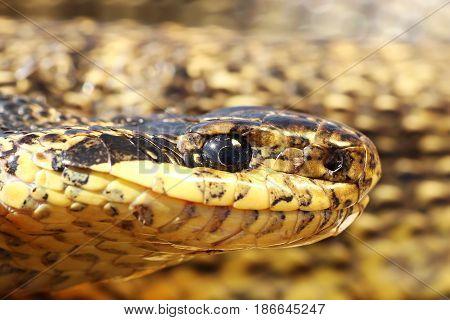 macro portrait of a beautiful large european reptile the blotched snake ( Elaphe sauromates )