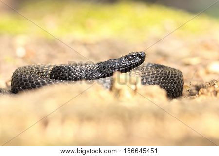 nikolsky viper basking on forest ground ( Vipera berus nikolskii )