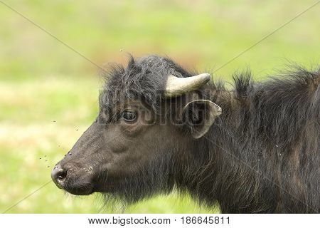 profile of juvenile water buffalo ( Bubalus bubalis calf )