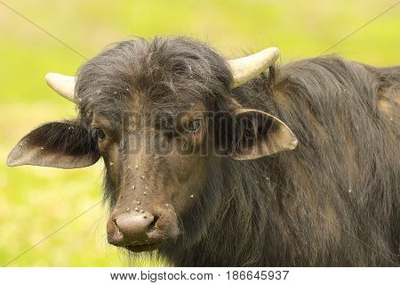 portrait of young black water buffalo ( Bubalus bubalis ) over green out of focus background