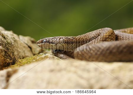 portrait of smooth snake basking in natural habitat ( Coronella austriaca )