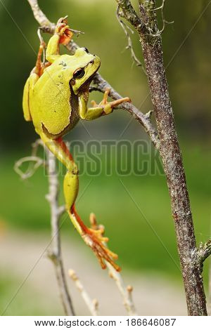 european green tree frog climbing on twigs ( Hyla arborea )