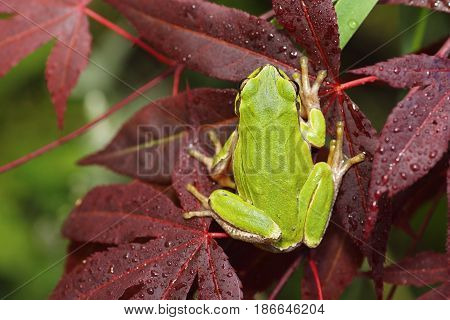 green tree frog standing on japanese maple leaf ( Hyla arborea )