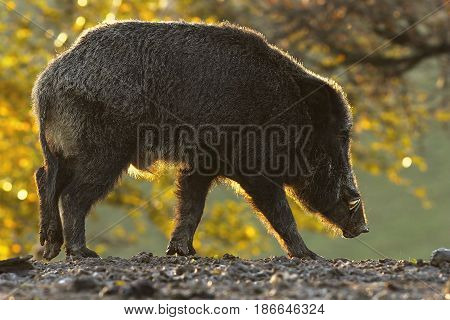 wild boar foraging for food in sunset light ( Sus scrofa )