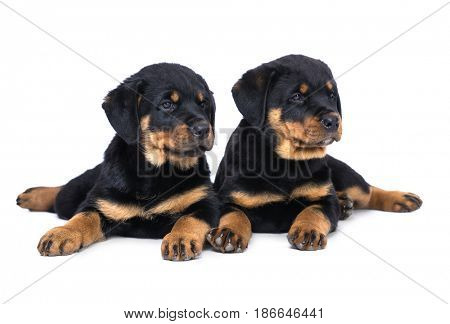 Two puppies of a rottweiler