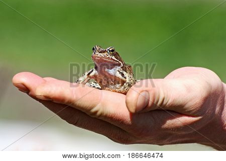 Frog sitting on a human hand. Little brown frog was caught by a man and sits calmly on his arm.