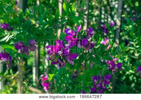 Beautiful unusual mauve flowers on a blurry background. Greece. Spring. Background.