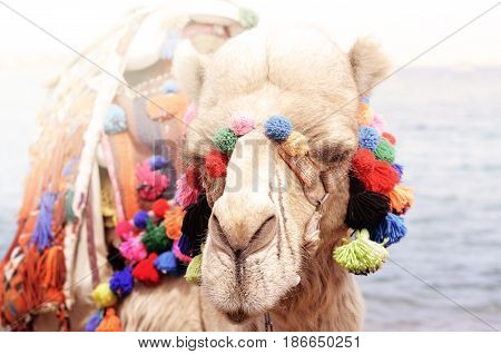 Close up portrait of camel near the seaside. Camelus ride on egyptian beach