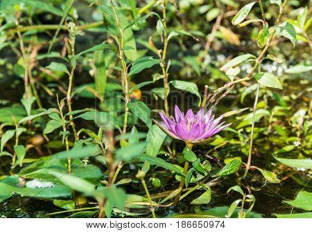 Single blooming lotus flower in the park