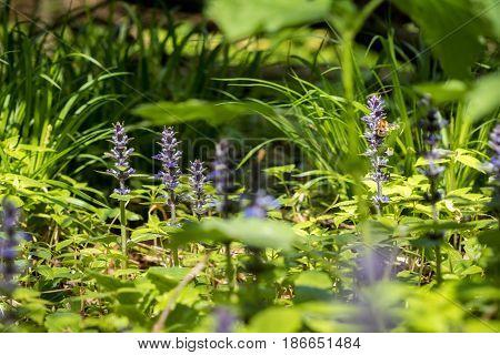 Closeup Shot Of Blue Ajuga Flowers And Green Grass