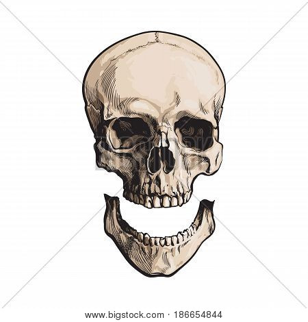 Hand drawn human skull, anatomical model with separated lower jaw, jawbone, sketch style vector illustration isolated on white background. Realistic hand drawing of human skull with separated jawbone