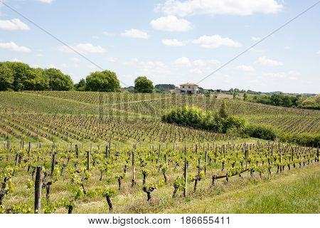 The Vines In The Bordeaux Region During The Spring