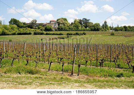 Vineyards In The Bordeaux Region During The Spring