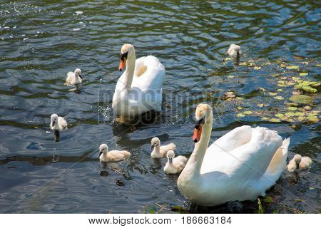 Swan family. Father swan mother swan and swan's chicks together.