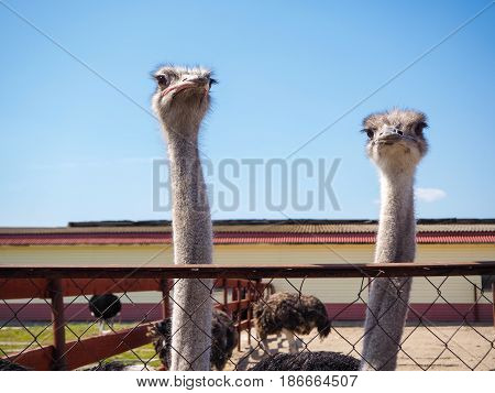 Ostrich Farming Bird Head And Neck Front Portrait In Paddock.