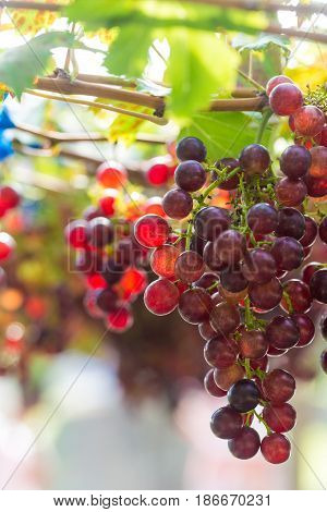 Branches Of Red Wine Grapes Growing In Farm