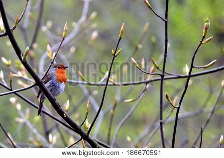 European robin on a tree branch in spring time
