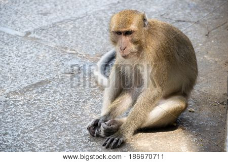 Close up monkey (Long-tailed macaque Crab-eating macaque) sit floor