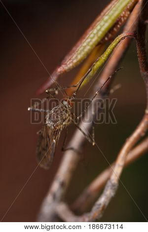 Mosquito with red faceted eyes sitting on a branch macro
