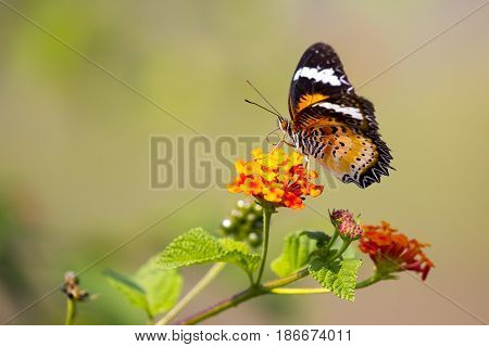 Image of butterfly on flower on nature background. (Common tiger butterfly) Insect Animals.