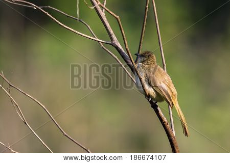 Image of bird (Streak-eared Bulbul; Pycnonotus blanfordi) on the branch on nature background. Wild Animals.
