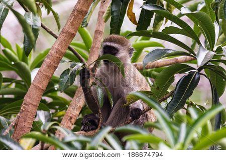 The green monkey on the tree. Masai Mara, Kenya
