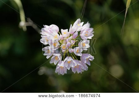 Flowers of a wild rosy garlic plant (Allium roseum)