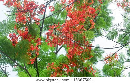 Royal Poinciana (Flame Tree) red colour flower with green leaf on blue sky background. Flower summer of Thailand.