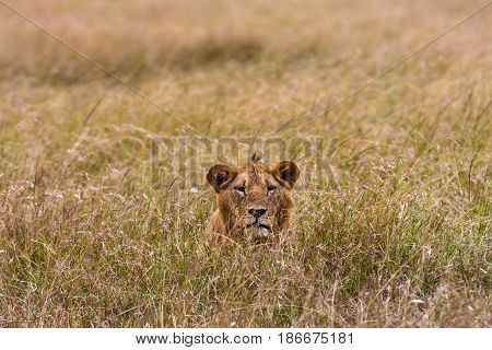 Young lion in the thick grass. Masai Mara, Kenya