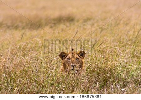 Lion in the grass. Masai Mara, Kenya