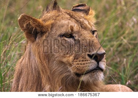Head of a young lion. Future king. Kenya, Africa