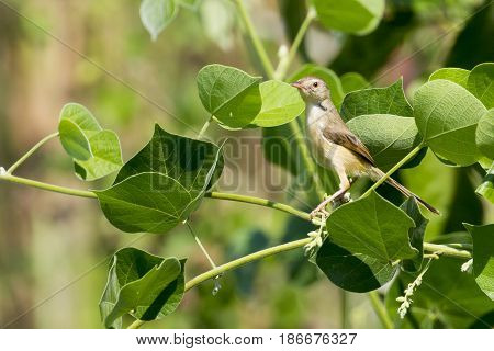 Image of a bird perched on a green leaf. Wild Animals. Asian Golden Weaver (Female)
