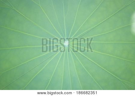 Green Lotus Leaf In Summer Day stock photo