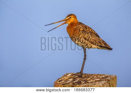 Black-tailed Godwit Calling From Wooden Post