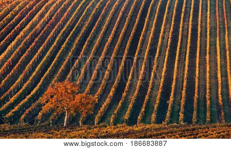 Line and Wine. A lonely autumn tree against the background of the geometric lines of autumn vineyards. Fantastic autumn landscape of the Czech Tuscany. Beautiful landscape with grapes and apple-tree