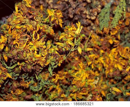 Dry Hypericum Perforatum, St. John's Wort - Herbal Medicine and tea ingredient