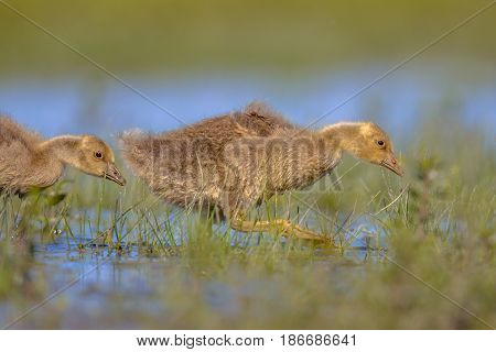 Greylag Goose Chick Running Through Water