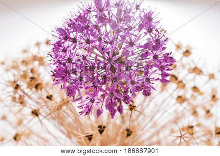 Allium flower (Allium Giganteum) with decoration on white