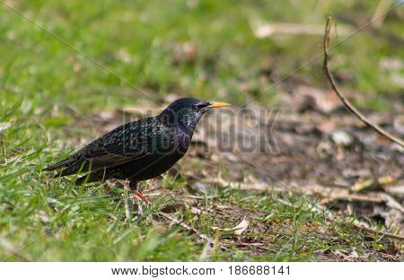 Starling In The Grass