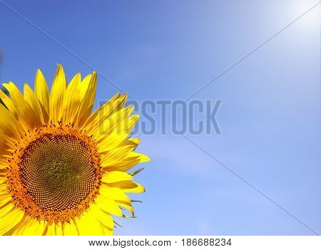 Sunflower, part on blue sky background, space for text