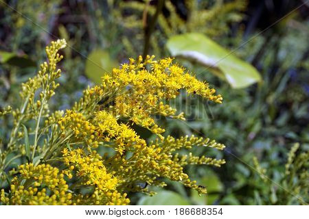 Canada goldenrod (Solidago canadensis) blooms in the Fourth Street Swamp in Harbor Springs, Michigan during August.