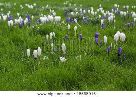 Greensward with spring white and violet flowers