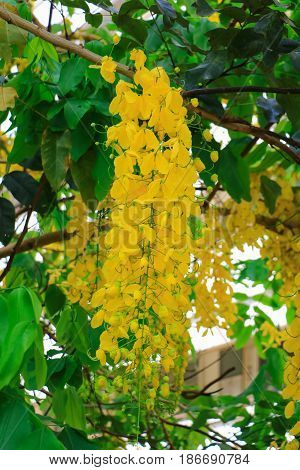 Cassia fistula yellow flower. Golden Shower Tree with branch for beautiful background