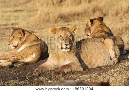 Three young lions (Panthera leo) rest in the sun in the morning light. Ol Pejeta Conservancy Kenya.
