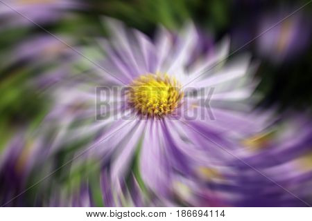 Aster x frikartii, 'Monch'  a common cultivated herbaceous perennial hardy garden flower plant also known as  Michaelmas Daisy with a wind breeze swirl effect