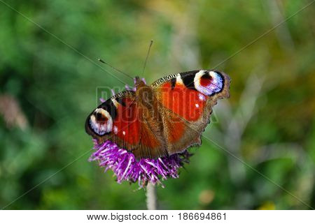 European Common Peacock butterfly (Aglais io, Inachis io) Collecting nectar on pink flowers. Butterfly on wild flower