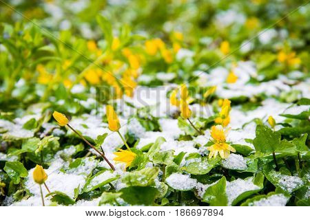 blooming flowers in snow in spring park, anomaly weather